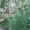 Genevieve Botti - Deschampsia flexuosa (L.) Trin. [1836]
