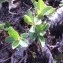 Genevieve Botti - Salix retusa L.
