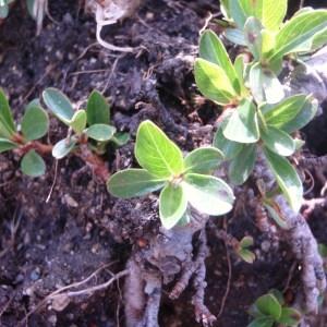 Photographie n°80499 du taxon Salix retusa L.