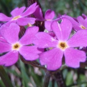 Primula farinosa L. (Primevère farineuse)