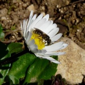 Photographie n°80516 du taxon Bellis perennis L.