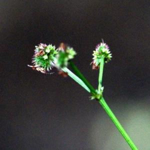 Photographie n°80534 du taxon Sanicula europaea L.