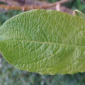 Photographie n°80585 du taxon Salix L. [1753]