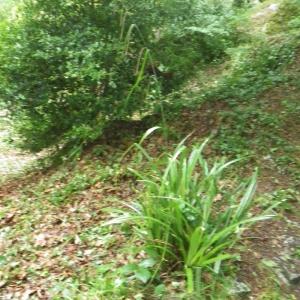 Photographie n°80604 du taxon Carex pendula Huds.