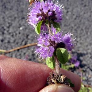 Mentha x verticillata L. (Menthe verticillée)