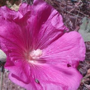 Photographie n°80645 du taxon Alcea rosea L. [1753]