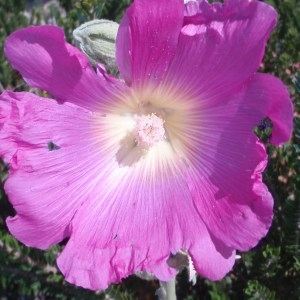 Photographie n°80646 du taxon Alcea rosea L. [1753]
