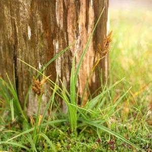 Photographie n°80652 du taxon Carex arenaria L.