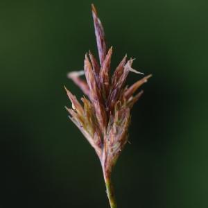 Photographie n°80654 du taxon Carex arenaria L.