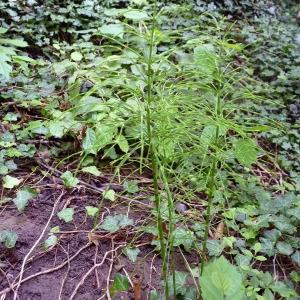 Photographie n°80713 du taxon Equisetum palustre L.