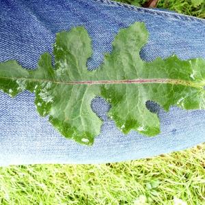 Photographie n°80728 du taxon Lactuca saligna L.