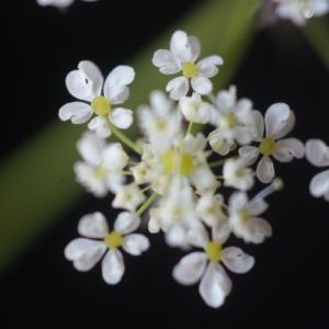Chaerophyllum aureum L. (Cerfeuil d'or)