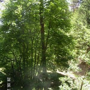 Photographie n°80794 du taxon Acer pseudoplatanus L.