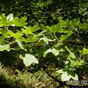 Photographie n°80796 du taxon Acer monspessulanum L. [1753]