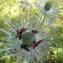 Madeleine Sarran - Eryngium alpinum