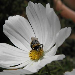 Cosmos bipinnatus Cav. (Cosmos)