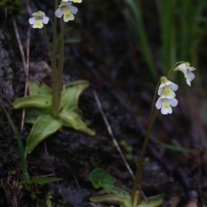 Photographie n°80904 du taxon Pinguicula alpina L.
