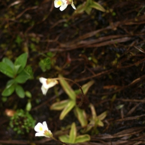 Photographie n°80906 du taxon Pinguicula alpina L.