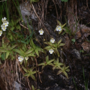 Photographie n°80907 du taxon Pinguicula alpina L.