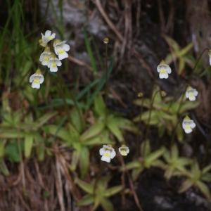 Photographie n°80908 du taxon Pinguicula alpina L.