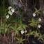 Liliane Roubaudi - Pinguicula alpina L.