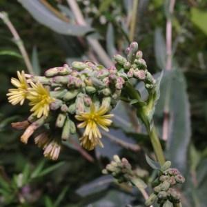 Photographie n°80968 du taxon Lactuca virosa L. [1753]