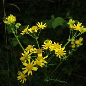 Senecio jacobaea L. (Séneçon de Jacob)