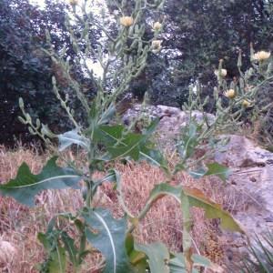Photographie n°80982 du taxon Asteraceae