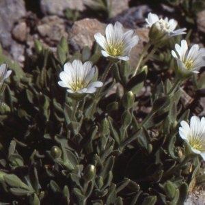 Photographie n°81012 du taxon Cerastium cerastoides (L.) Britton [1894]
