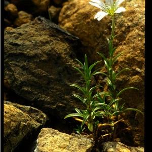 Photographie n°81014 du taxon Cerastium cerastoides (L.) Britton [1894]