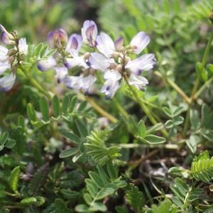 Astragalus alpinus L. (Astragale des Alpes)
