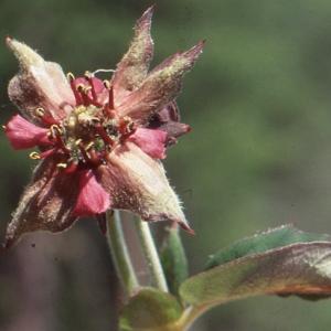 Photographie n°81064 du taxon Potentilla palustris (L.) Scop.