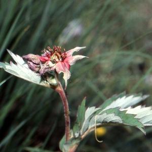 Photographie n°81067 du taxon Potentilla palustris (L.) Scop.