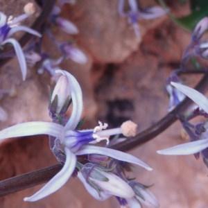 Photographie n°81245 du taxon Campanulaceae