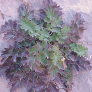 Photographie n°81247 du taxon Campanulaceae