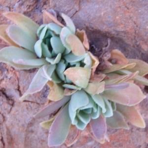 Photographie n°81248 du taxon Crassulaceae