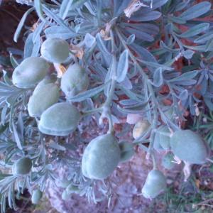 Photographie n°81249 du taxon Brassicaceae