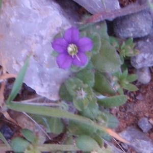 Photographie n°81259 du taxon Legousia speculum-veneris (L.) Chaix
