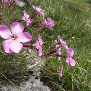 Dianthus gratianopolitanus Vill. (Oeillet bleu)
