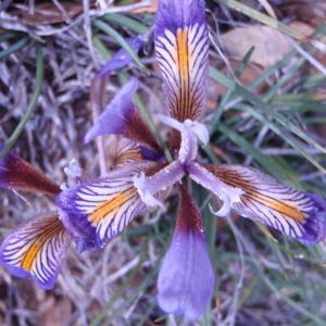 Photographie n°81267 du taxon Iris cretensis Janka [1867]