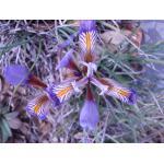 Iris cretensis Janka