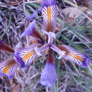 Photographie n°81268 du taxon Iris cretensis Janka [1867]