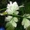 Emmanuel Stratmains - Chaerophyllum temulum L. [1753]