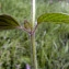 Emmanuel Stratmains - Clinopodium vulgare L. [1753]