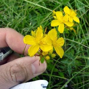 Hypericum acutum Moench (Millepertuis à quatre ailes)