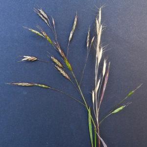 Photographie n°81514 du taxon Bromus arvensis L. [1753]