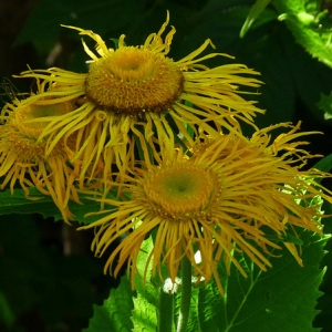 Inula helenium L. (Grande Aunée)
