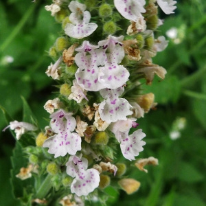 Photographie n°81534 du taxon Nepeta cataria L. [1753]