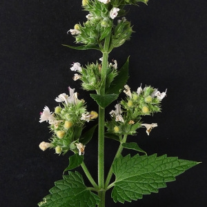 Photographie n°81539 du taxon Nepeta cataria L. [1753]