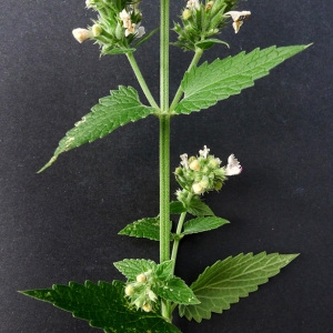 Photographie n°81540 du taxon Nepeta cataria L.